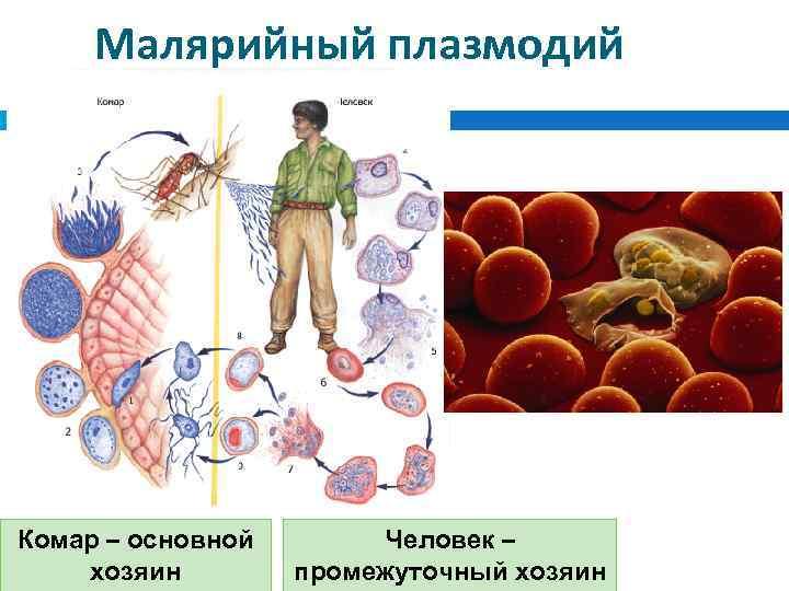 Малярия: причины, симптомы, диагностика, лечение и профилактика