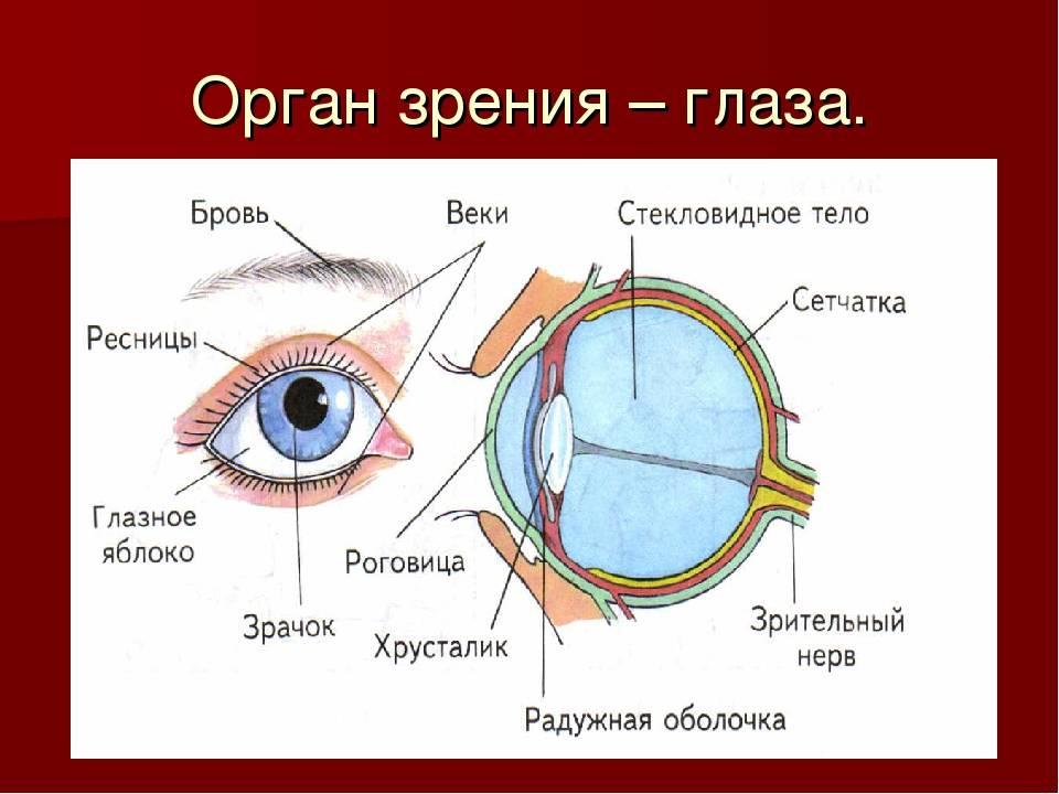 орган зрения человека его строение и функции