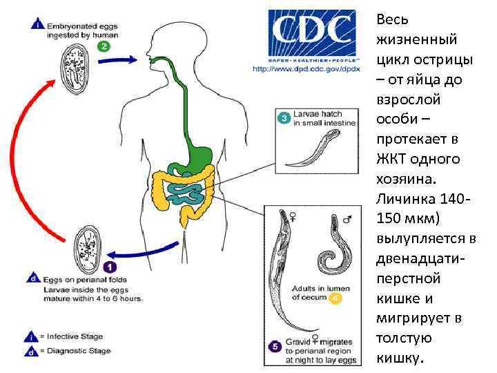 Острицы - симптомы, диагностика, лечение, народные средства