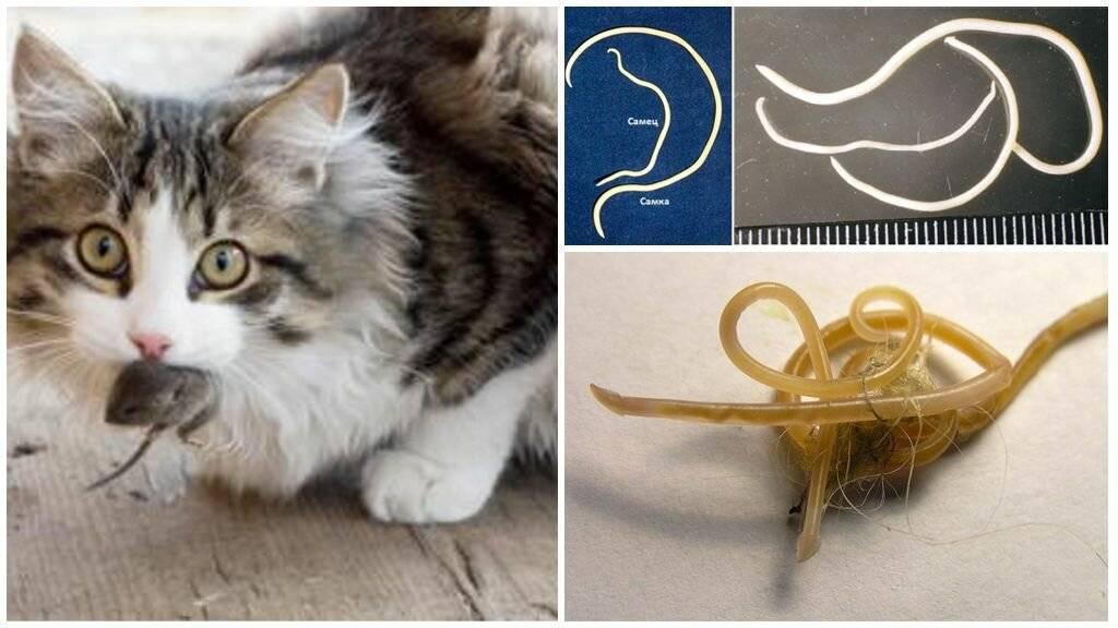 Глисты от кошек к человеку: как передаются и особенности заражения