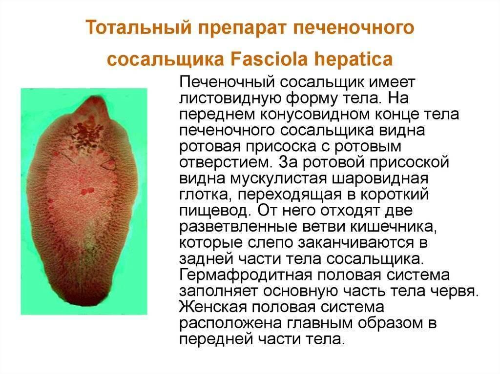 Фасциолез  - симптомы болезни, профилактика и лечение фасциолеза , причины заболевания и его диагностика на eurolab