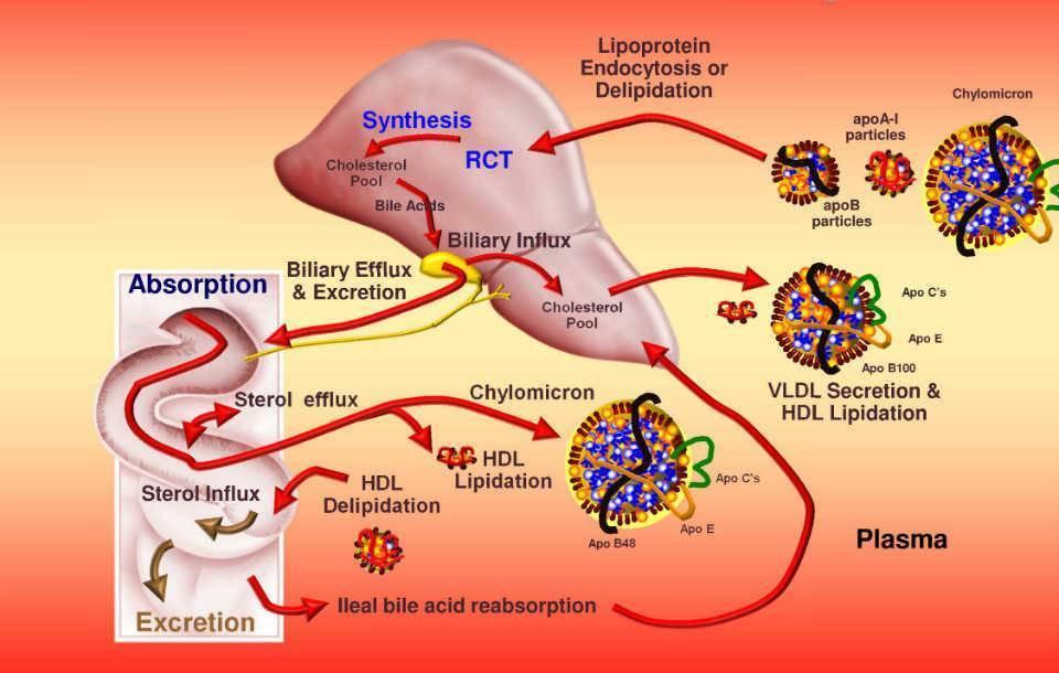 образование холестерина
