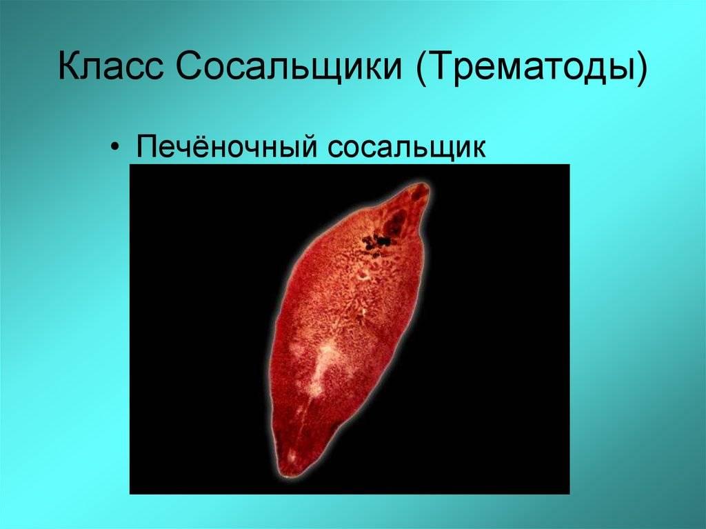 Печёночная двуустка -fasciola hepatica