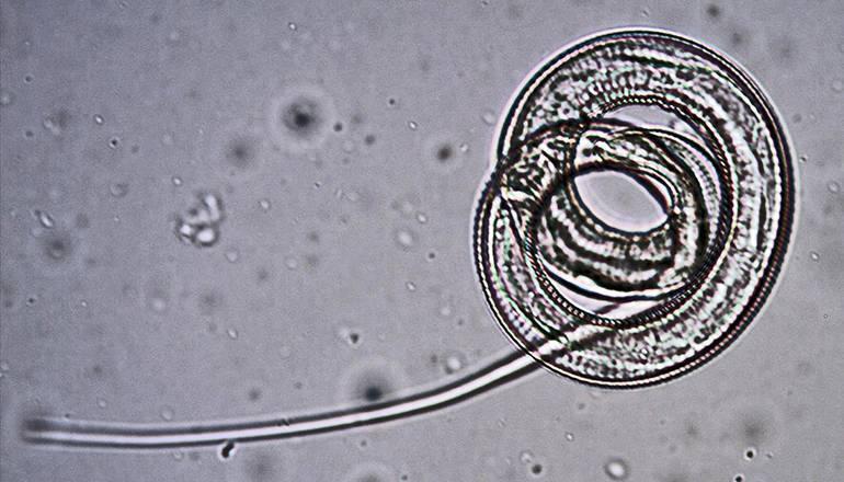 Ришта заражение. червь ришта: жизненный цикл, симптомы и лечение