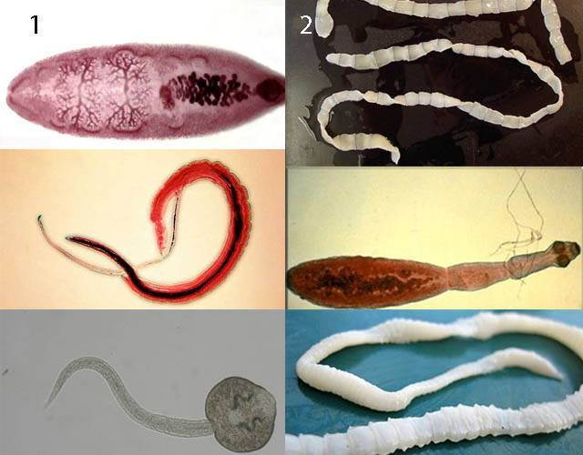Признаки глистов у человека. симптомы, названия, разновидности. анализ крови, кала, лечение народными средствами, препараты