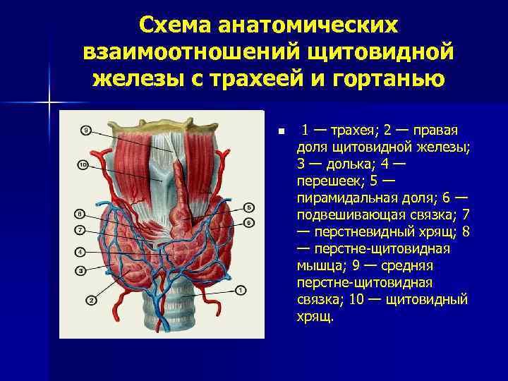 щитовидная железа анатомия