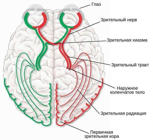 зрительный нерв строение и функции