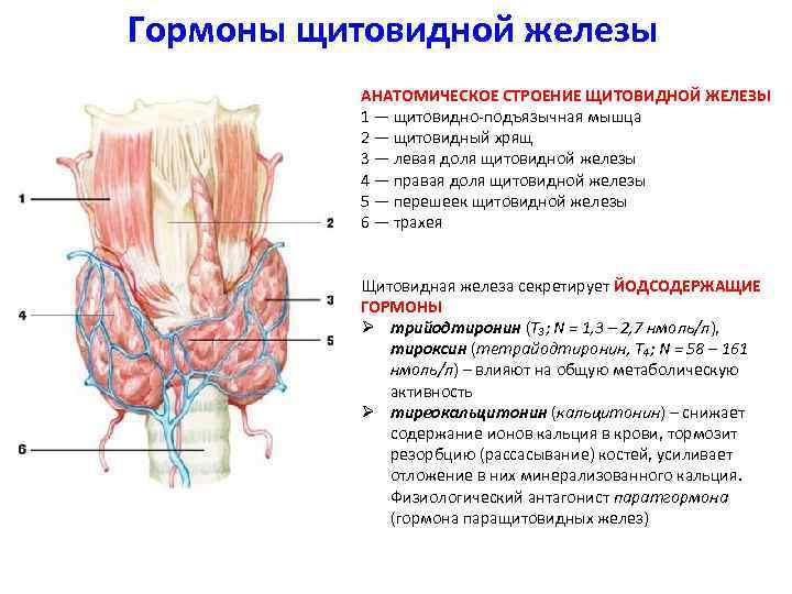 Анализ гормонов щитовидной и паращитовидной желез — новая медицинская энциклопедия