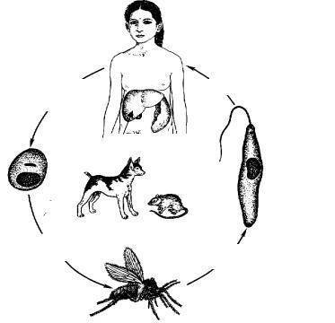 Симптомы и лечение лейшманиоза у человека