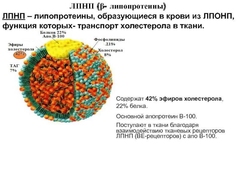 Липопротеиды высокой плотности (лпвп) — что это такое