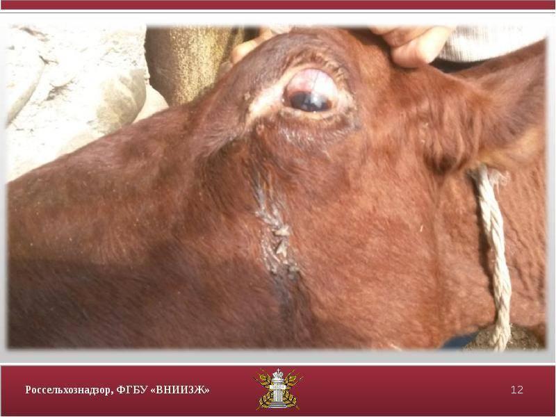 Лечение нодулярного дерматита у крупно рогатого скота