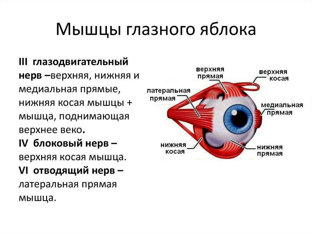 Цилиарная мышца: строение, функции, симптомы и лечение