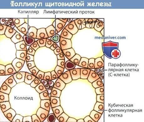 Единичные клетки фолликулярного эпителия на фоне элементов крови. щитовидная железа и ее структурные клетки что такое фолликулярные эпителии щитовидной