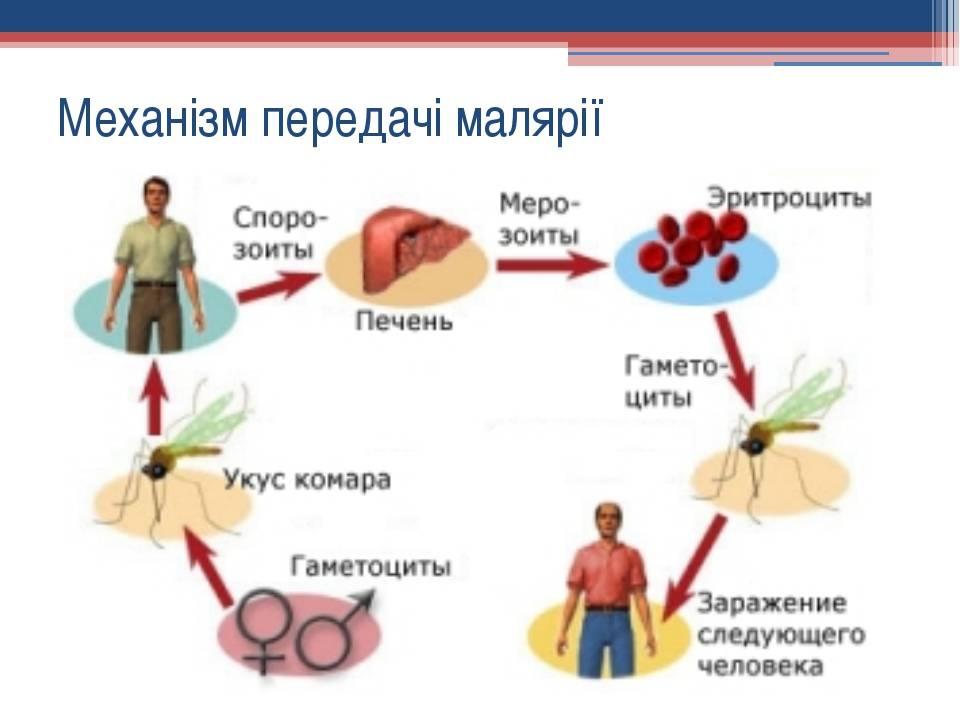 Малярия: заражение, признаки, формы и течение, как выявить и лечить