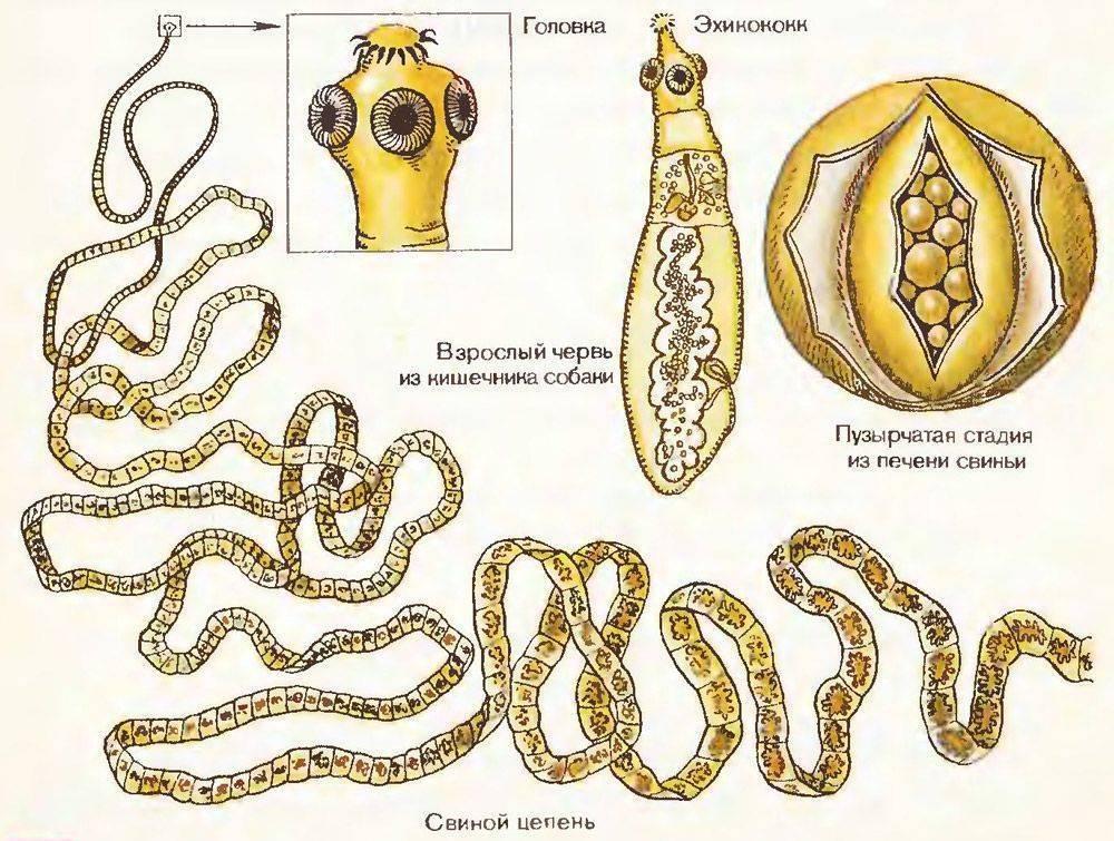 какие бывают паразиты в организме человека
