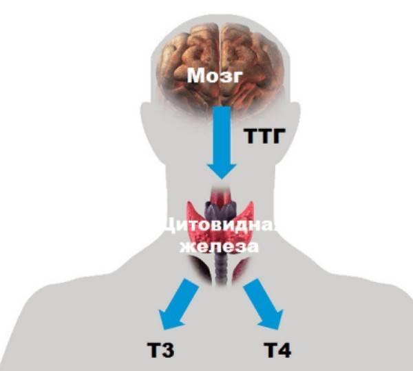 Т4 свободный – что это за гормон?