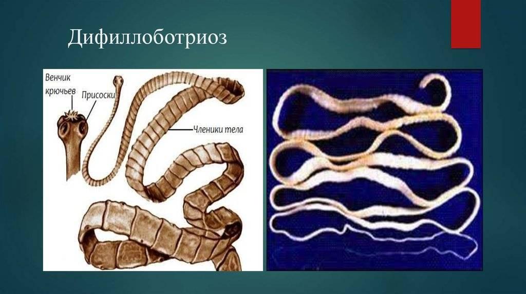 Широкий лентец (diphyllobothrium latum) и дифиллоботриоз:симптомы, лечение, жизненный цикл