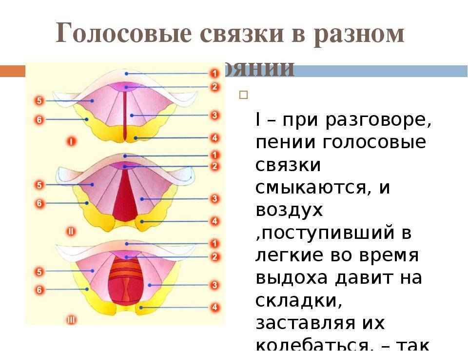 Голосовые связки. где расположены у человека, признаки заболеваний, лечение