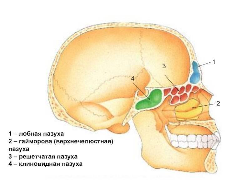 Отсутствие лобных пазух носа
