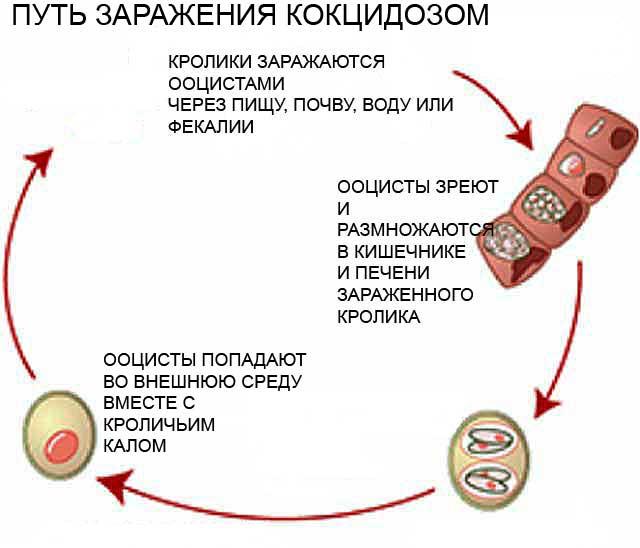 Кокцидиоз у животных и у человека