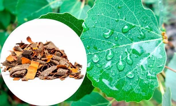 Лечебные свойства осины при геморрое