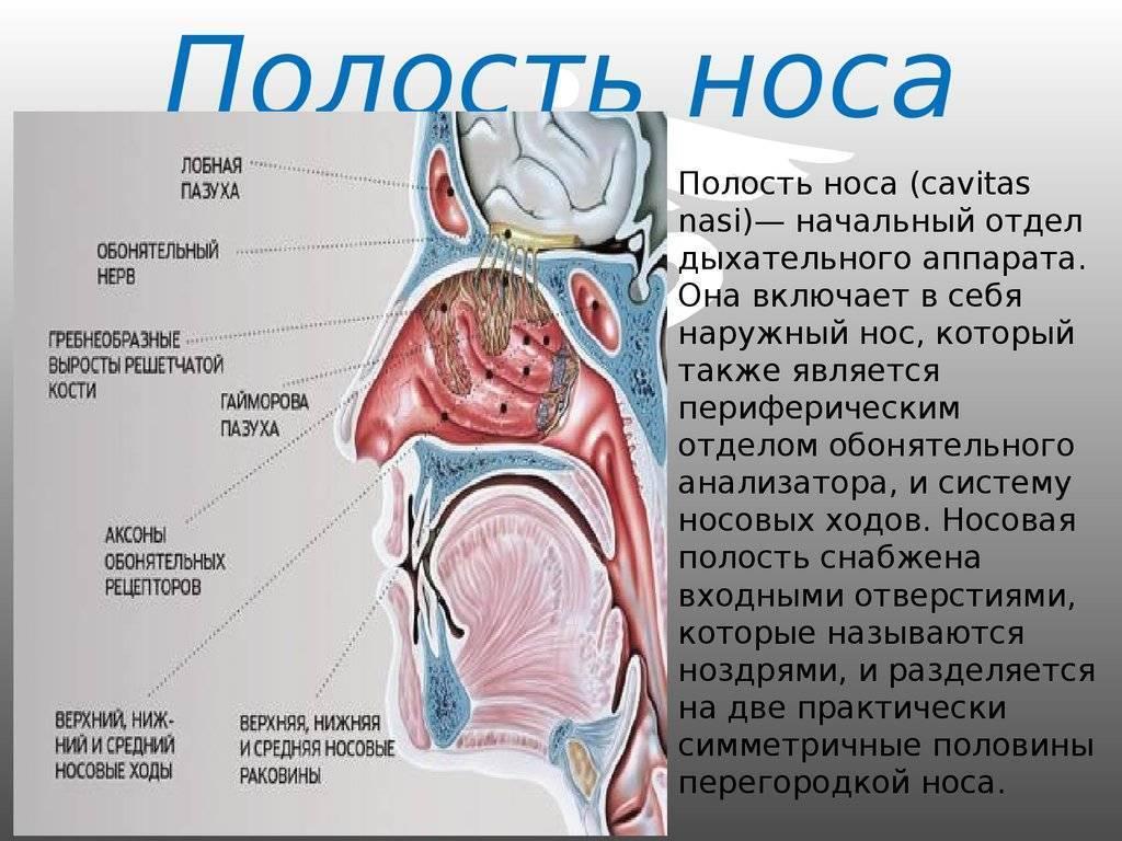 Носовая полость - строение, функции