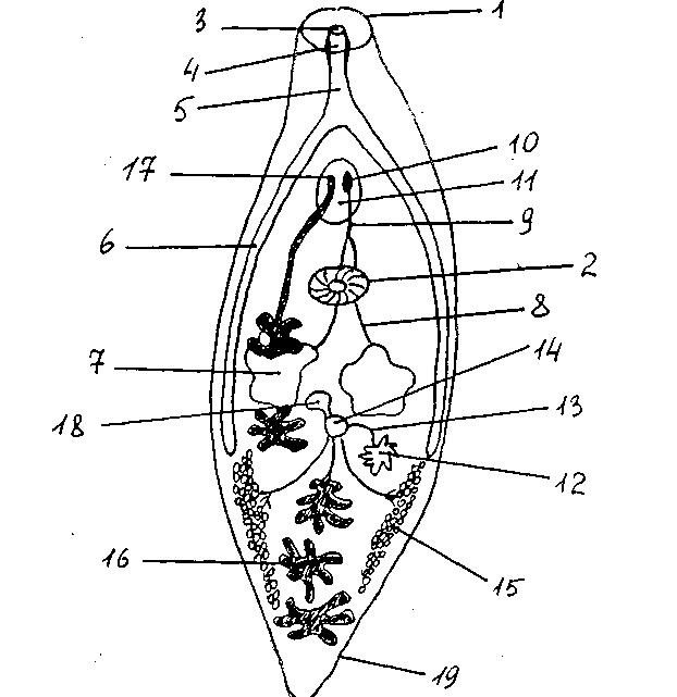 ланцетовидный сосальщик строение