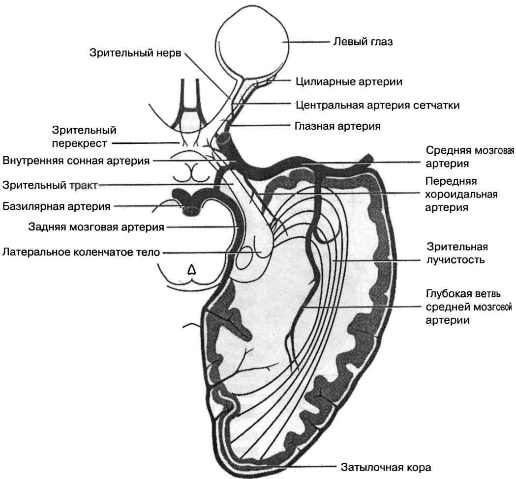 зрительный нерв анатомия