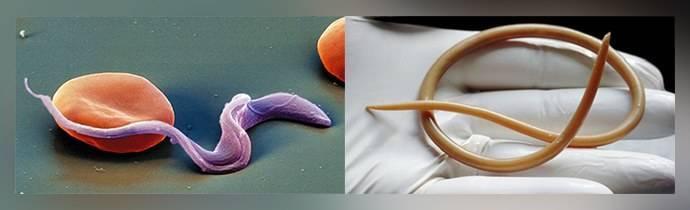 Глисты и паразиты в легких человека: виды, симптомы и лечение