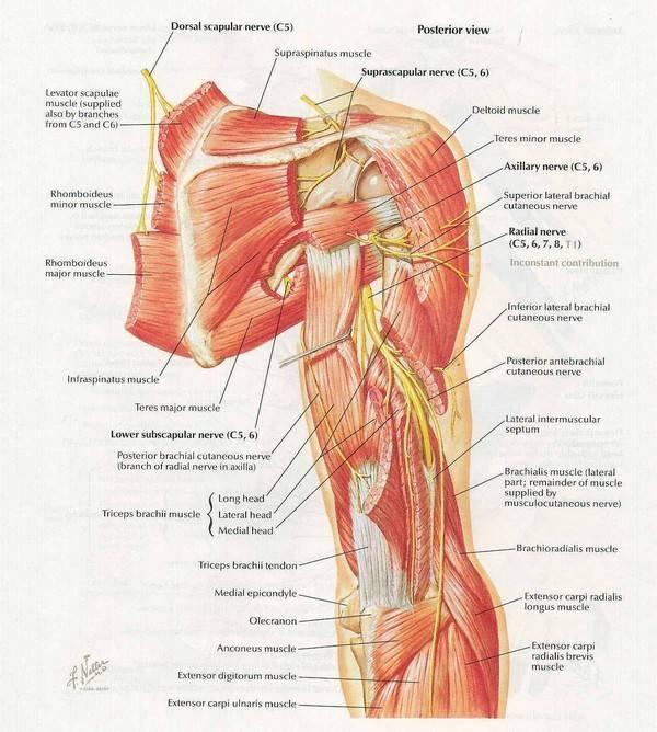 Какой врач лечит невралгию плечевого сустава