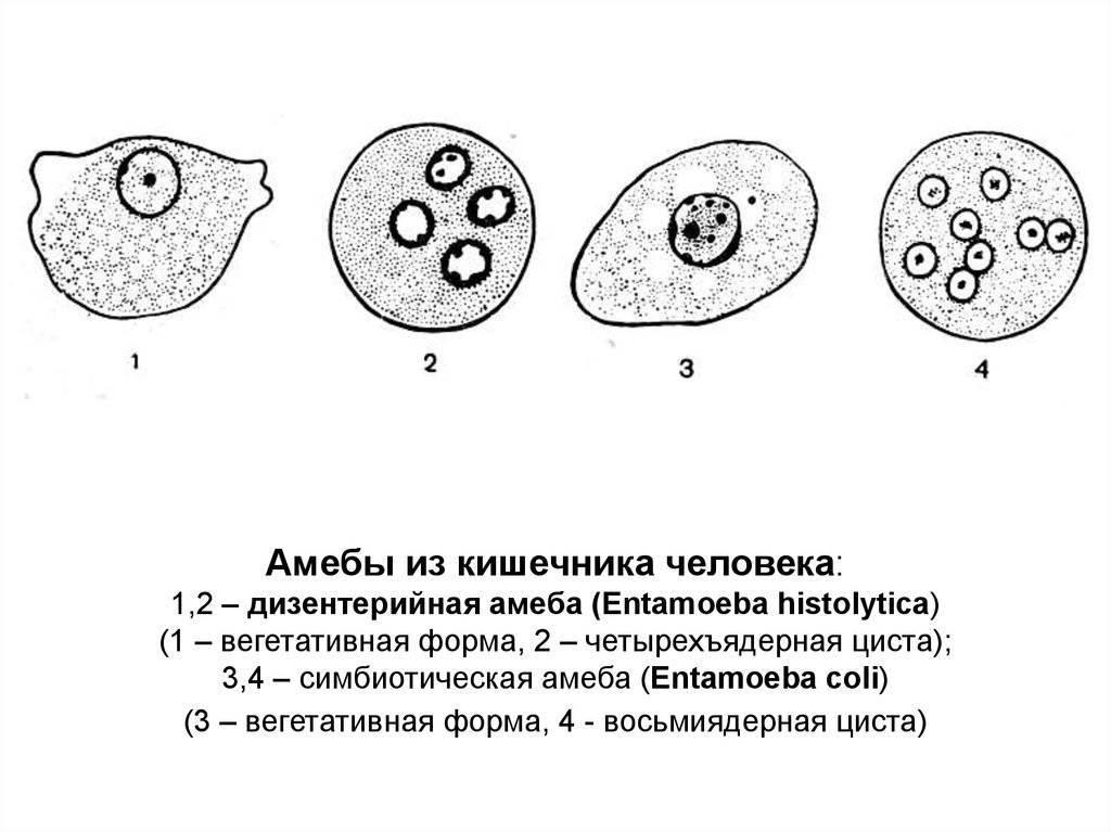 дизентерийная амеба строение