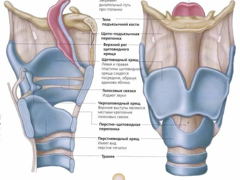 Гортань и горло — строение, опасные и типичные заболевания