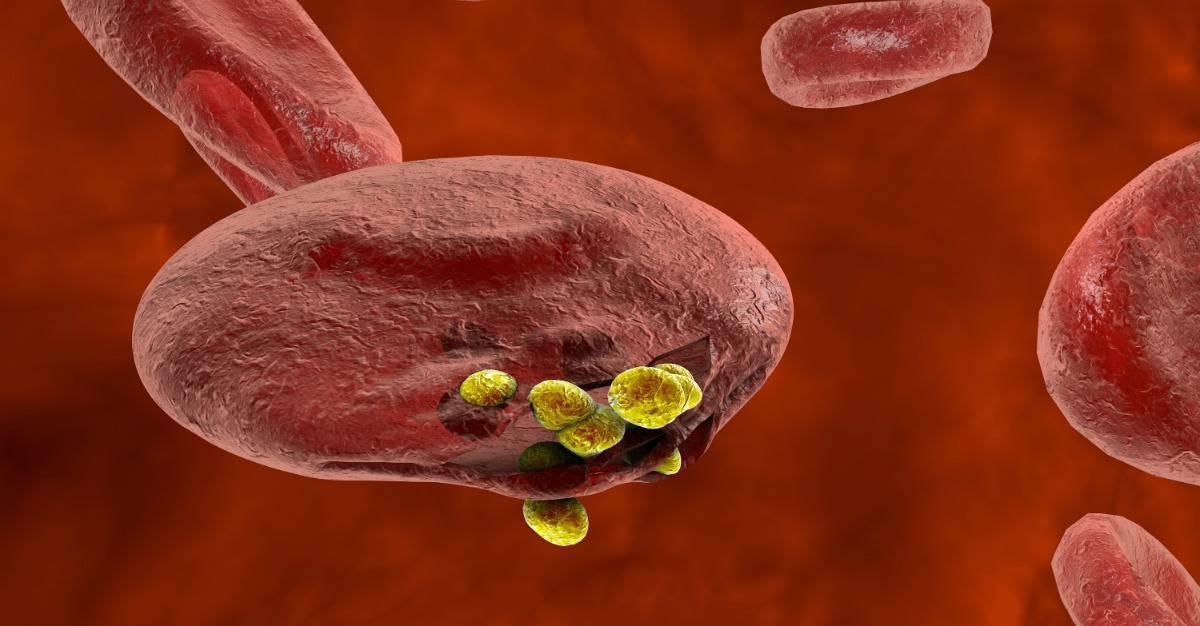 Малярийный плазмодий: жизненный цикл и развитие | все о паразитах