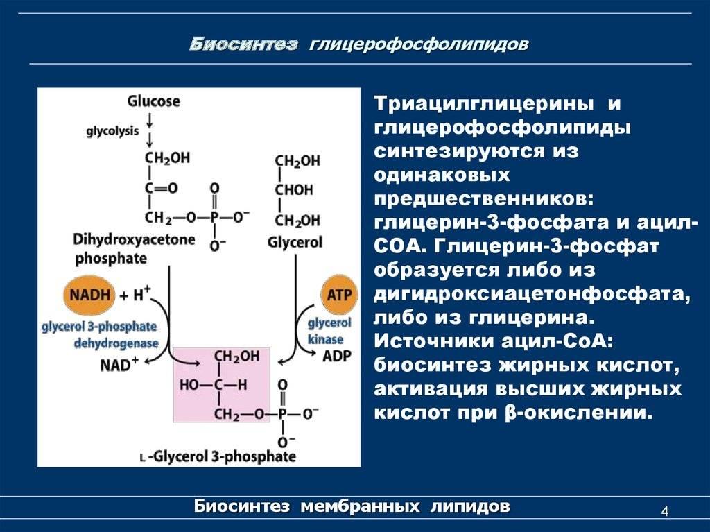 Образование структурных и запасных липидов - физиология обмена веществ - ботаника том 2 - физиология растений - 2007