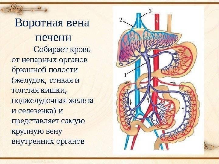 Причины возникновения тромбоза воротной вены и способы ее лечения