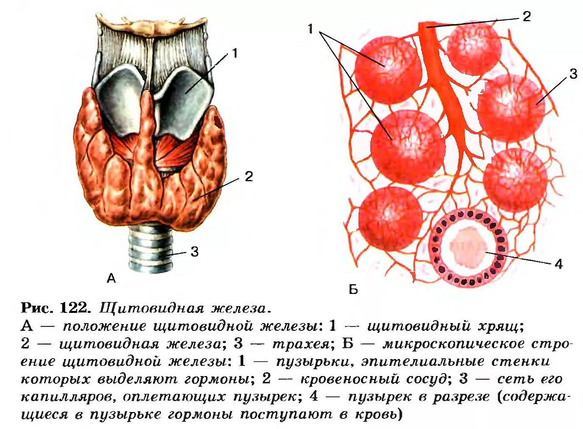 щитовидная железа какая секреция