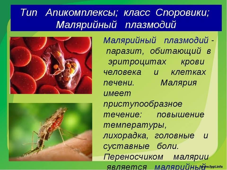 малярийный плазмодий стадии