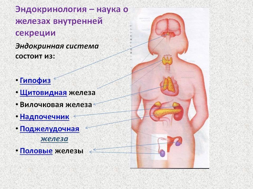 Эндокринная система - эндокринология. физиология эндокринной системы и ее органов