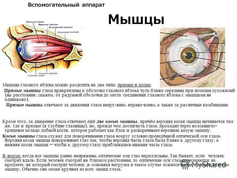Анатомия: иннервация глаза. иннервация глазного яблока.