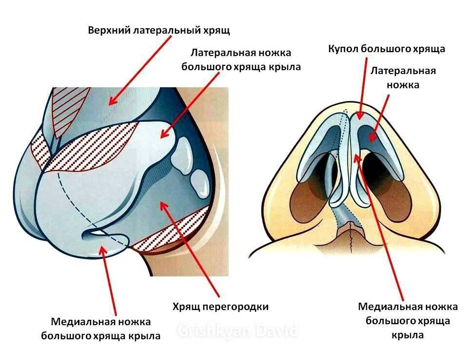хрящи наружного носа