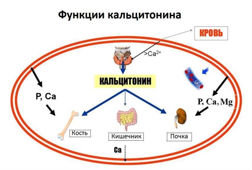 Что показывает кальцитонин,его норма у женщин в таблице,причины отклонений