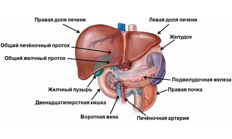 Холестаз (застой желчи) его причины, симптомы и препараты для лечения