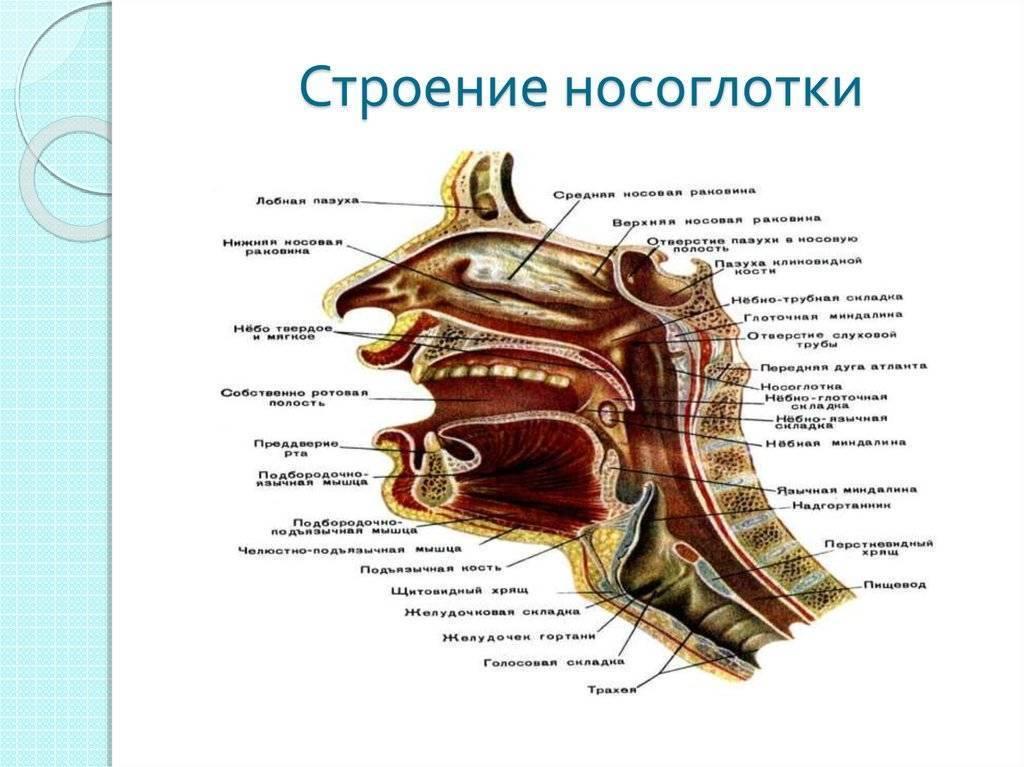 строение носоглотки человека схема