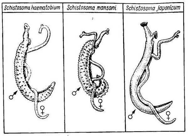 шистосома гематобиум симптомы