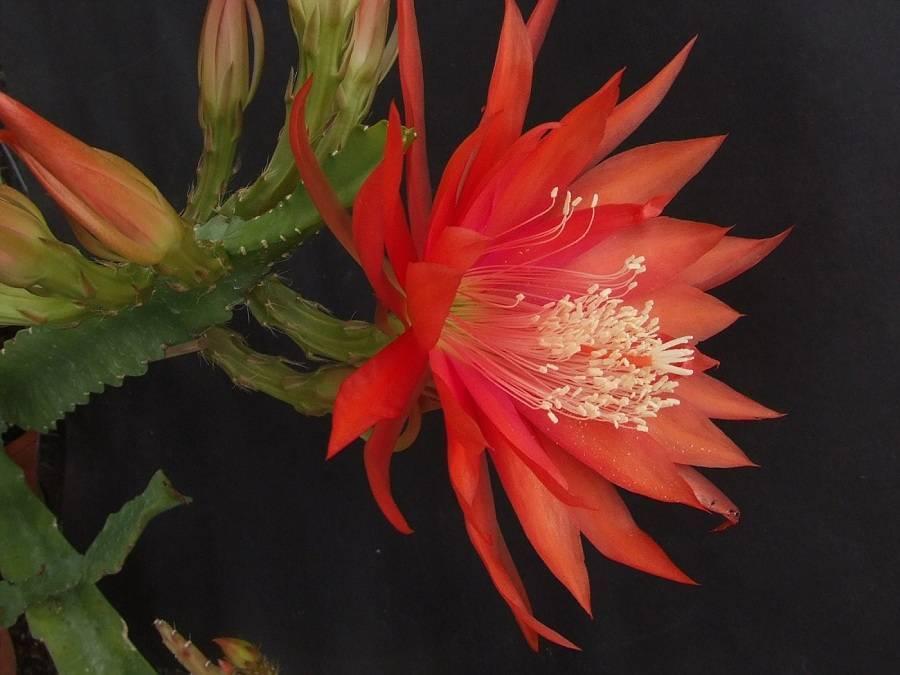 Ни один вид кактуса «эпифиллум» не оставит вас равнодушным!