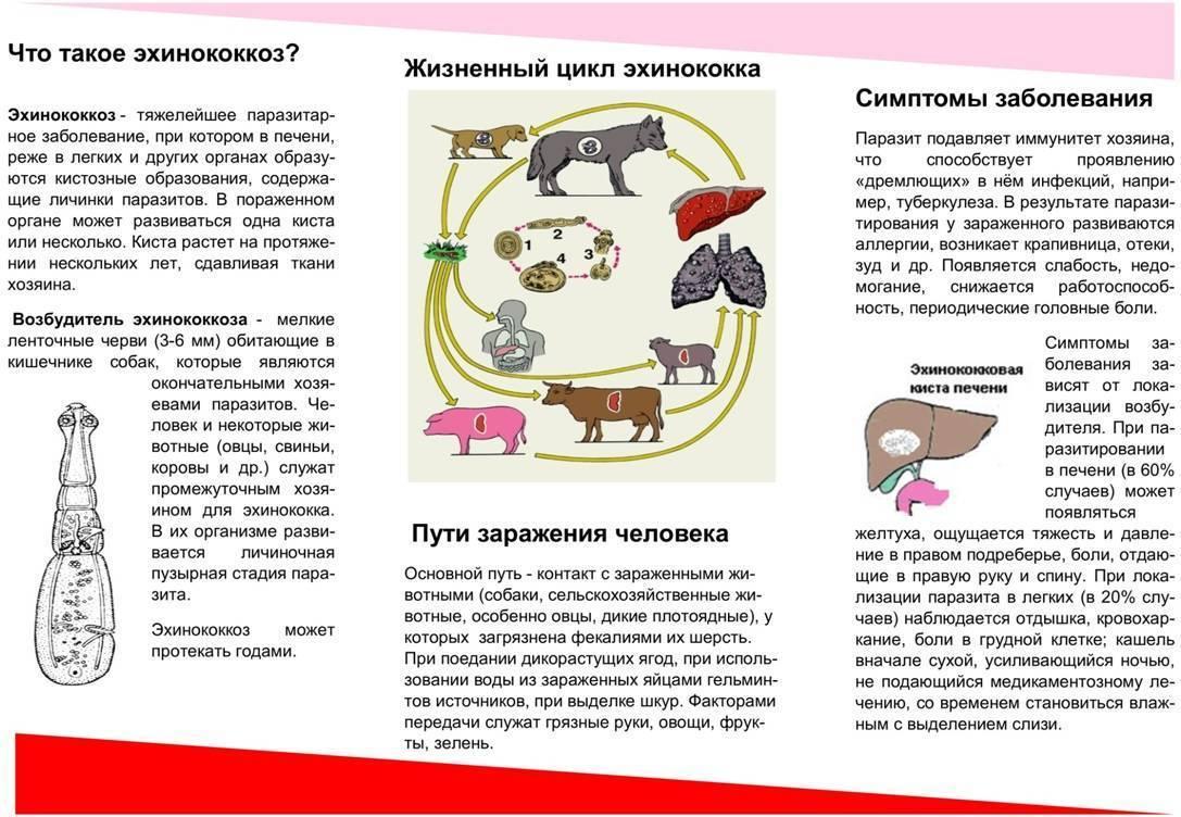 Эхинококкоз – симптомы у человека. цикл развития эхинококка. эхинококкоз печени, легких, головного мозга, сердца, почки