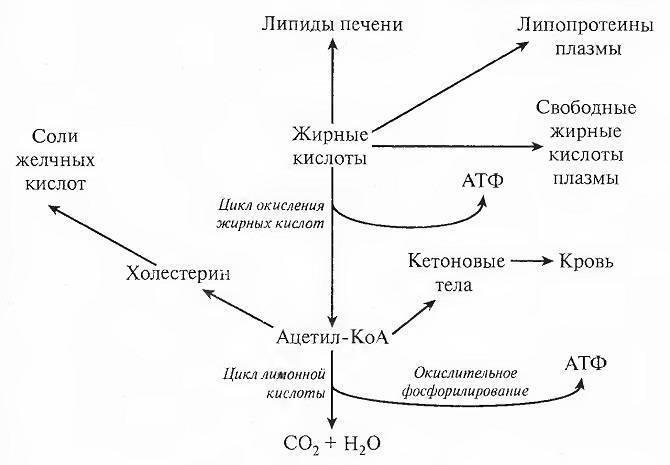 биосинтез липидов