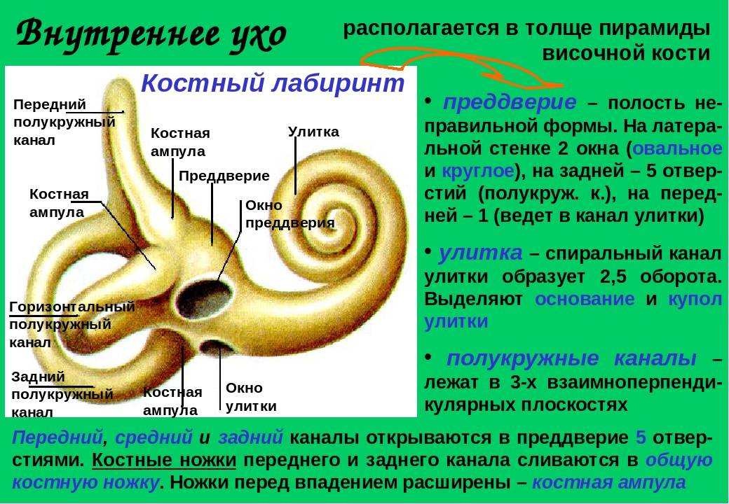 Внутреннее ухо. строение внутреннего уха