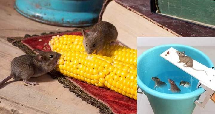 Симптомы боязни мышей и крыс: что это за расстройство, причины страха перед грызунами