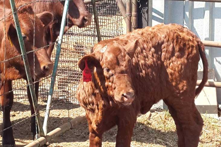 Нодулярный дерматит крупного рогатого скота: фото лечение, случаи у человека
